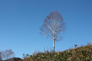 37青空に白樺の木