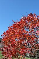 19青空と紅葉