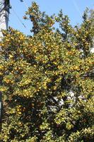 44見事な柚子の大木