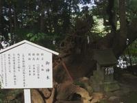 13 草薙神社の御神木.jpg
